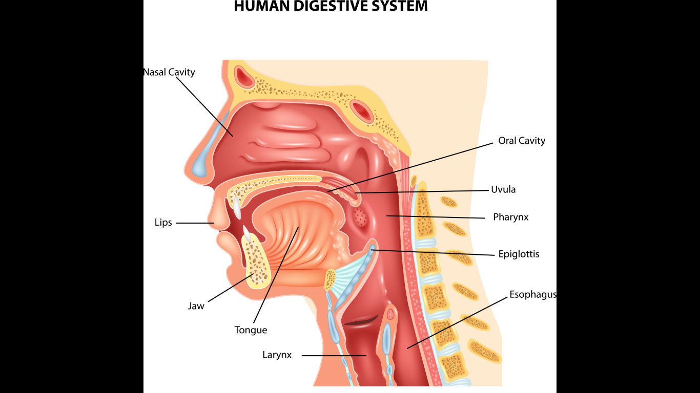 human digestive system anatomy images medical pictures for presentations