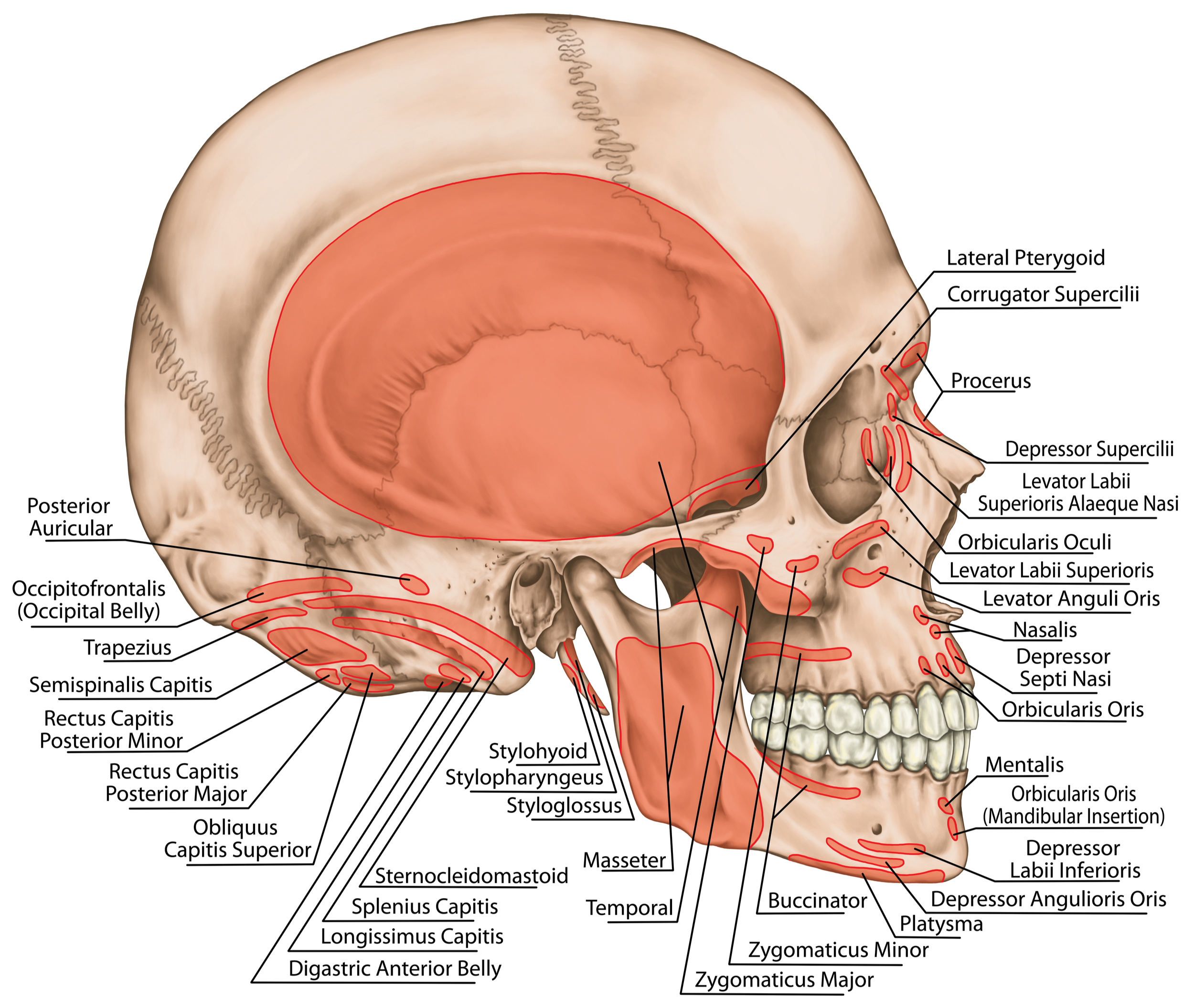mouth jaw throat images for presentations larynx