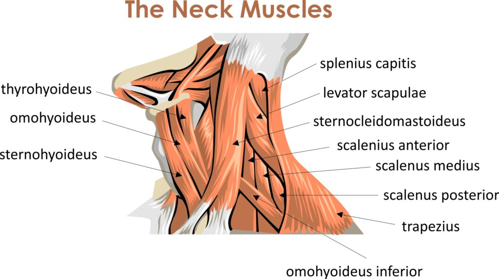 neck muscles anatomy images for presentations