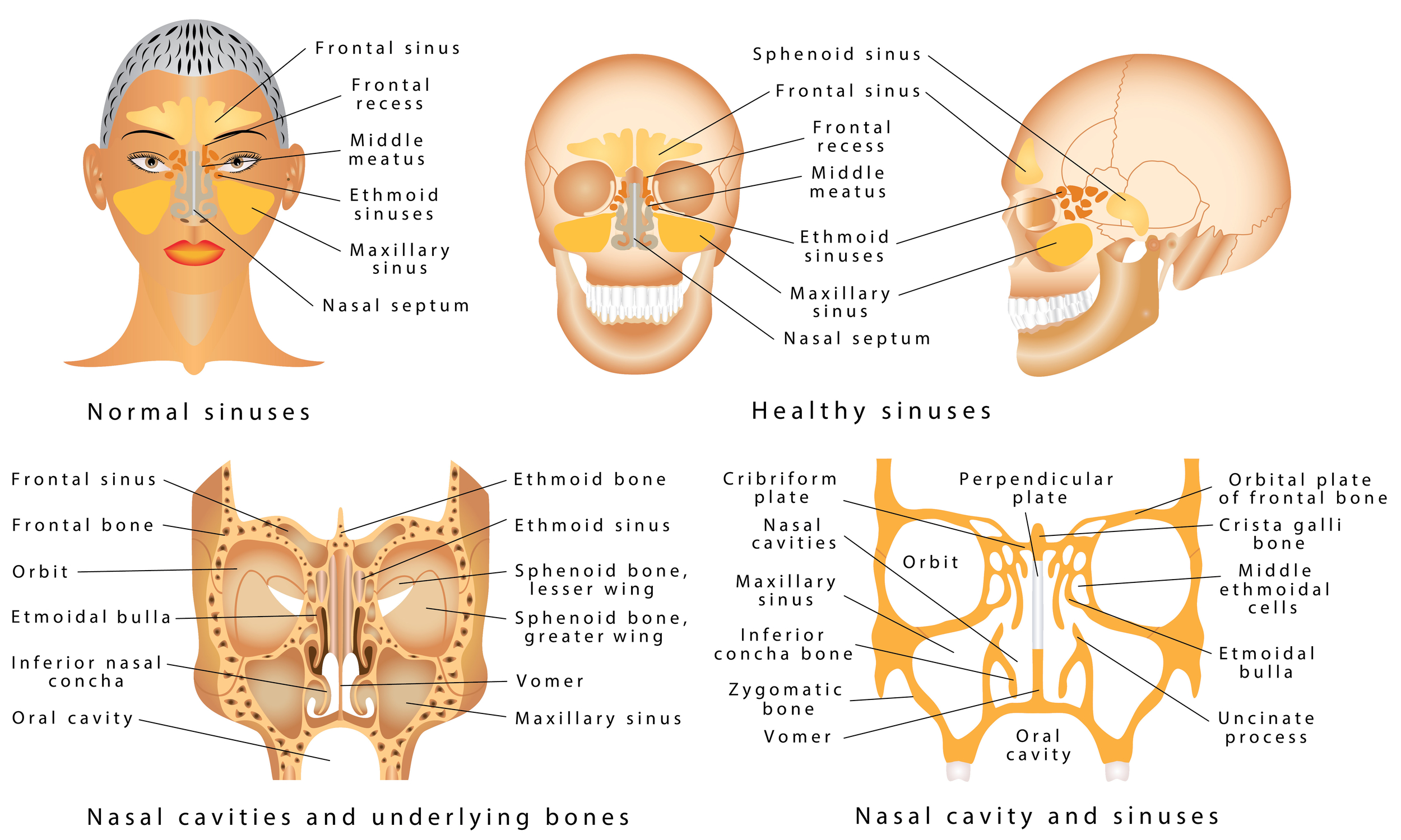 nose nasal sinus anatomy images for presentations